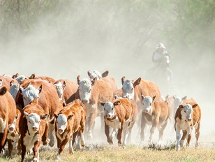 mall herd of cattle running through a dry dusty meadow with a cowboy riding a horse behind it